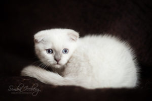 Scottish Fold lilac point kitten SimbaIceberg Handsome Thranduil (2 months 1 week old - 29.04.2017) (1)