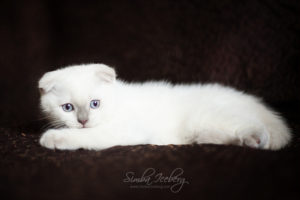 Scottish Fold lilac point kitten SimbaIceberg Handsome Thranduil (2 months 1 week old - 29.04.2017) (3)