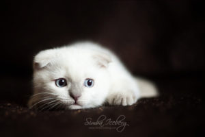 Scottish Fold lilac point kitten SimbaIceberg Handsome Thranduil (2 months 1 week old - 29.04.2017) (4)