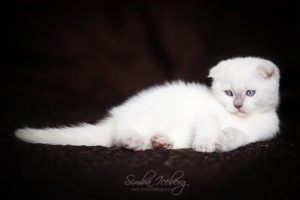 Scottish Fold lilac point kitten SimbaIceberg Handsome Thranduil (2 months old - 22.04.2017) (1)