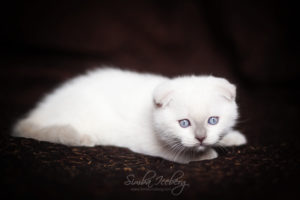 Scottish Fold lilac point kitten SimbaIceberg Handsome Thranduil (2 months old - 22.04.2017) (2)