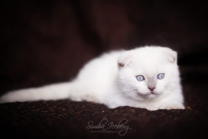 Scottish Fold lilac point kitten SimbaIceberg Handsome Thranduil (2 months old - 22.04.2017) (4)