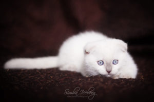 Scottish Fold lilac point kitten SimbaIceberg Handsome Thranduil (2 months old - 22.04.2017) (5)