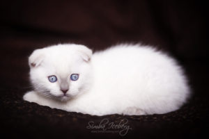 Scottish Fold lilac point kitten SimbaIceberg Handsome Thranduil (2 months old - 22.04.2017) (6)