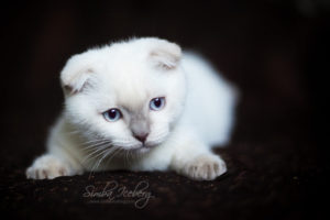 Scottish Fold lilac point kitten SimbaIceberg Handsome Thranduil (3 months old - 22.05.2017) (1)