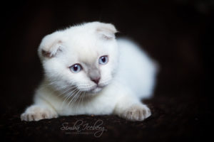 Scottish Fold lilac point kitten SimbaIceberg Handsome Thranduil (3 months old - 22.05.2017) (2)