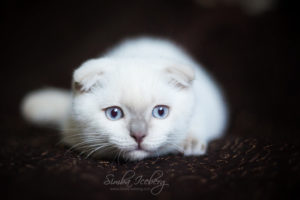 Scottish Fold lilac point kitten SimbaIceberg Handsome Thranduil (3 months old - 22.05.2017) (3)