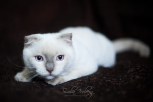 Scottish Fold lilac point kitten SimbaIceberg Handsome Thranduil (6 months old - 25.08.2017) (1)