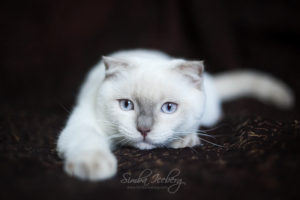 Scottish Fold lilac point kitten SimbaIceberg Handsome Thranduil (6 months old - 25.08.2017) (2)