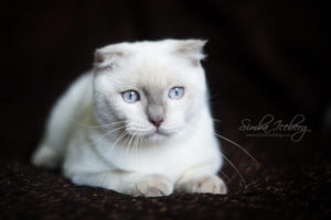 Scottish Fold lilac point kitten SimbaIceberg Handsome Thranduil (6 months old - 25.08.2017) (3)