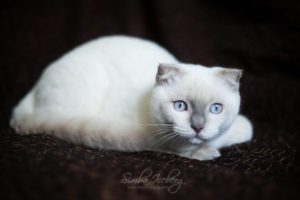 Scottish Fold lilac point kitten SimbaIceberg Handsome Thranduil (6 months old - 25.08.2017) (4)