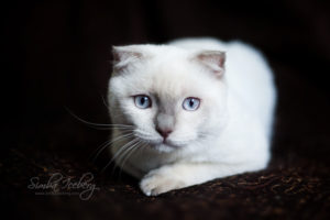 Scottish Fold lilac point kitten SimbaIceberg Handsome Thranduil (6 months old - 25.08.2017) (5)