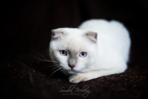 Scottish Fold lilac point kitten SimbaIceberg Handsome Thranduil (6 months old - 25.08.2017) (6)