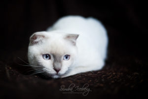 Scottish Fold lilac point kitten SimbaIceberg Handsome Thranduil (6 months old - 25.08.2017) (7)
