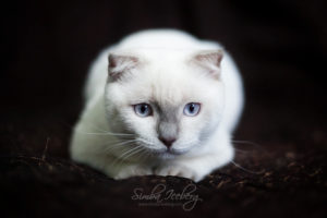 Scottish Fold lilac point kitten SimbaIceberg Handsome Thranduil (6 months old - 25.08.2017) (8)