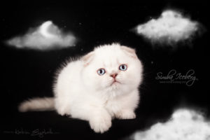 Scottish Fold lilac silver tabby point kitten Diana of Simba Iceberg (1 month 3 weeks 1 day old - 13.03.2013)