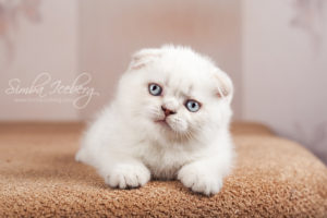 Scottish Fold lilac silver tabby point kitten Diana of Simba Iceberg (1 month 3 weeks 3 days old - 16.03.2013) (3)
