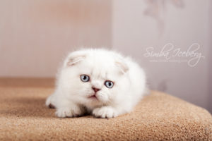 Scottish Fold lilac silver tabby point kitten Diana of Simba Iceberg (1 month 3 weeks 3 days old - 16.03.2013) (4)