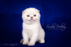 Scottish Fold lilac silver tabby point kitten Diana of Simba Iceberg (1 month old - 22.02.2013)