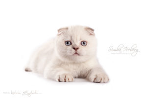Scottish Fold lilac silver tabby point kitten Diana of Simba Iceberg (2 months 1 week 3 days old - 30.03.2013)