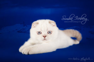 Scottish Fold lilac silver tabby point kitten Diana of Simba Iceberg (2 months 3 weeks old - 10.04.2013) (1)