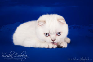 Scottish Fold lilac silver tabby point kitten Diana of Simba Iceberg (2 months 3 weeks old - 10.04.2013) (3)