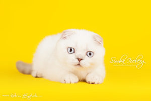 Scottish Fold lilac silver tabby point kitten Diana of Simba Iceberg (3 months 1 week old - 01.05.2013) (1)
