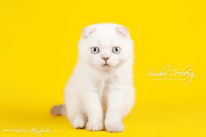 Scottish Fold lilac silver tabby point kitten Diana of Simba Iceberg (3 months 1 week old - 01.05.2013) (3)