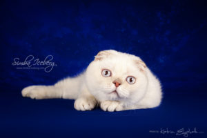 Scottish Fold lilac silver tabby point kitten Diana of Simba Iceberg (7 months old - 24.08.2013) (2)