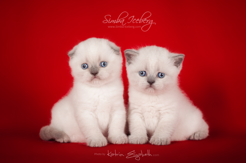 Scottish Straight & Fold blue point kittens SimbaIceberg Grace and Simba Iceberg Grant (1 month old - 08.05.2016)