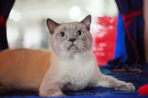 Scottish Straight blue point cat Benedict of Simba Iceberg (1 year 1 month 3 weeks old - 23.03.2013) (1)