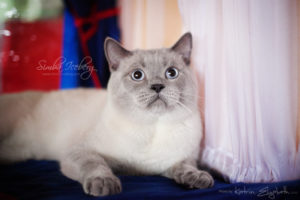 Scottish Straight blue point cat Benedict of Simba Iceberg (1 year 1 month 3 weeks old - 23.03.2013) (5)
