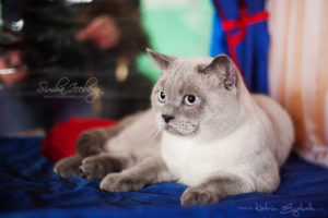 Scottish Straight blue point cat Benedict of Simba Iceberg (1 year 1 month 3 weeks old - 23.03.2013) (6)