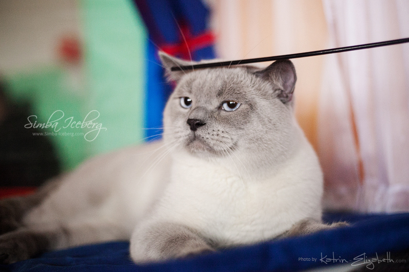 Scottish Straight blue point cat Benedict of Simba Iceberg (1 year 1 month 3 weeks old - 23.03.2013) (7)