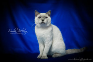 Scottish Straight blue point cat Benedict of Simba Iceberg (10 months 1 week old - 06.12.2012) (1)