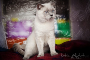 Scottish Straight blue point cat Benedict of Simba Iceberg (10 months 2 weeks old - 09.12.2012) (2)