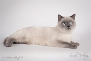 Scottish Straight blue point cat SimbaIceberg Grace (11 months 1 week old - 15.03.2017) (1)