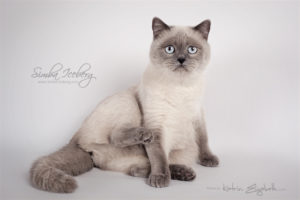 Scottish Straight blue point cat SimbaIceberg Grace (11 months 1 week old - 15.03.2017) (2)