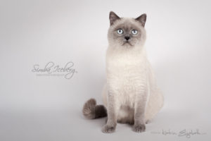 Scottish Straight blue point cat SimbaIceberg Grace (11 months 1 week old - 15.03.2017) (3)