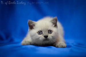 Scottish Straight blue point kitten Benedict of Simba Iceberg (1 month 2 weeks old - 08.04.2012)