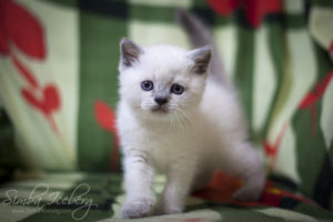 Scottish Straight blue point kitten Benedict of Simba Iceberg (1 month old - 02.03.2012) (1)