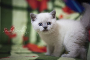 Scottish Straight blue point kitten Benedict of Simba Iceberg (1 month old - 02.03.2012) (2)