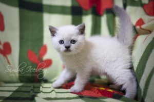 Scottish Straight blue point kitten Benedict of Simba Iceberg (1 month old - 02.03.2012) (3)
