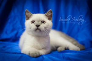 Scottish Straight blue point kitten Benedict of Simba Iceberg (2 months 4 weeks old - 21.04.2012) (1)