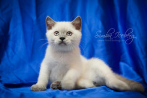 Scottish Straight blue point kitten Benedict of Simba Iceberg (2 months 4 weeks old - 21.04.2012) (2)