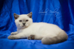 Scottish Straight blue point kitten Benedict of Simba Iceberg (2 months 4 weeks old - 21.04.2012) (4)