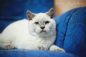 Scottish Straight blue point kitten Benedict of Simba Iceberg (4 months old - 24.05.2012)