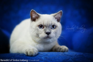 Scottish Straight blue point kitten Benedict of Simba Iceberg (6 months 1 week old - 05.08.2012)