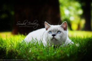 Scottish Straight blue point kitten Benedict of Simba Iceberg (6 months 3 weeks old - 18.08.2012) (4)