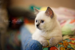 Scottish Straight blue point kitten Bubenchik of Simba Iceberg (2 months 4 weeks old - 23.04.2012) (2)